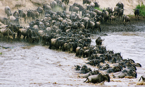 Wildebeest crossing the mara river as part of the great migration.