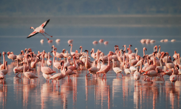 Flamingoes gathered in the lake in Kenya