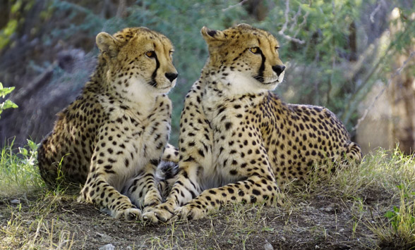 Two cheetah males sitting in the bushes.