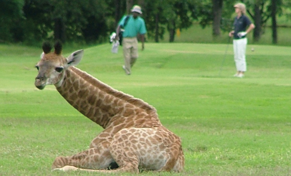 baby giraffe resting on the fairway as a golfer and caddy walk past.