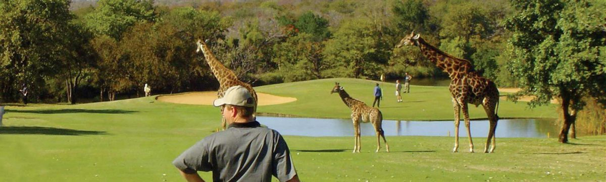 Golfer waiting for giraffes to clear the fairway at Hans Merensky Golf Club