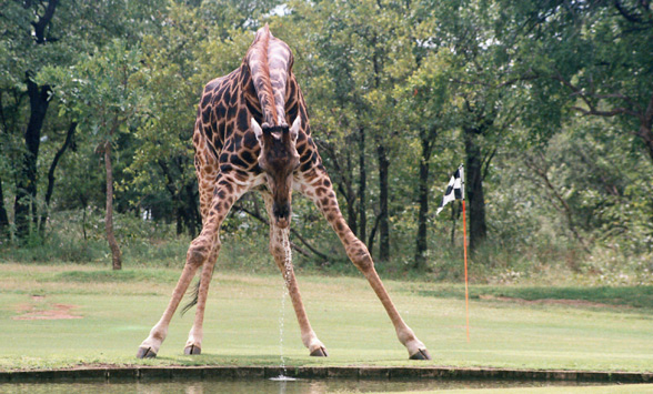 Giraffe drinking infant of golf green at Hans Merensky.