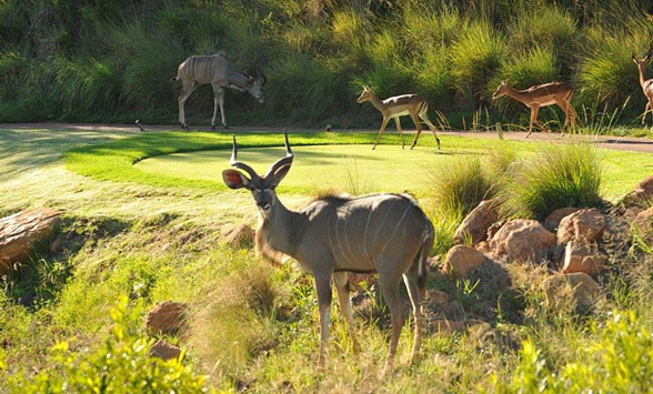 Kudu male and impala walking across tee box at Elements Golf Club.