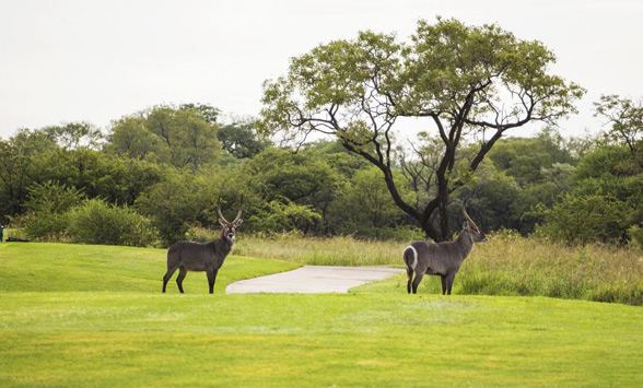 Waterbuck on the fairway at Euphoria Golf Club.