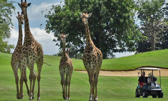 Giraffe family walking past a golf cart on the fairway at Zebula.