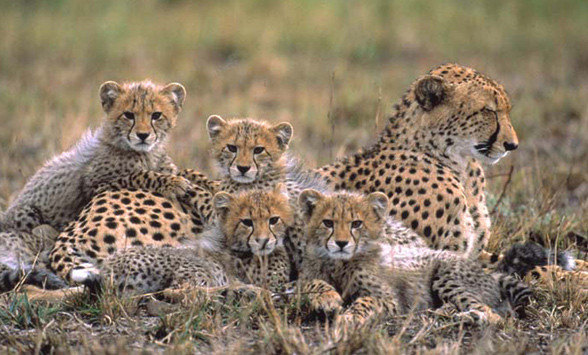 Cheetah mother with four cubs
