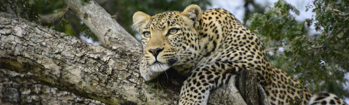 Top safari lodges in South Africa for leopard sightings