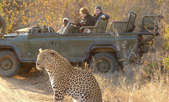 leopard at Thornybush with game drive vehicle and guest watching.