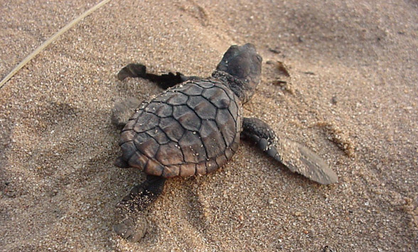 Baby turtle hatchling making its way across the sand.
