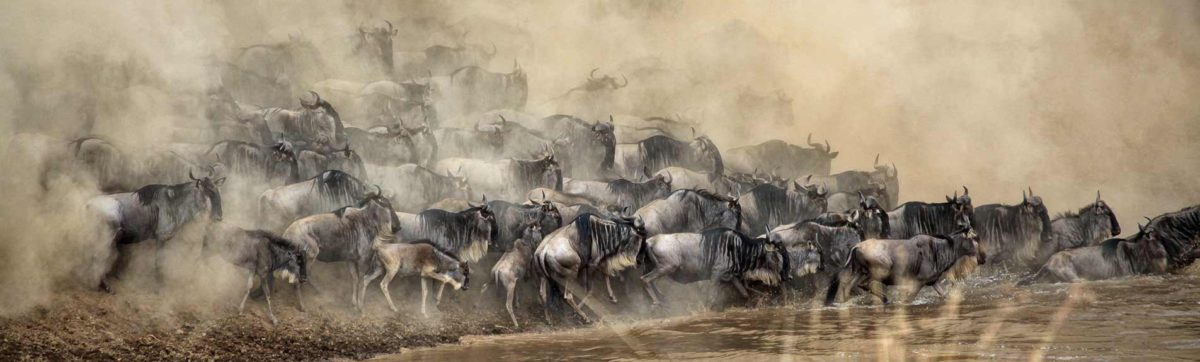 Wildebeest herds trying to cross the Mara River as the crocodiles lie in wait.