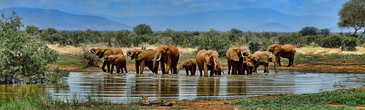 Herd of elephant drinking and bathing in lake in Africa.
