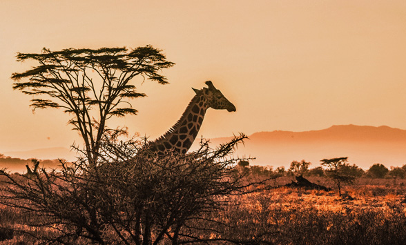 giraffe silhouetted against the orange sky.