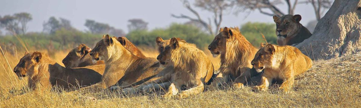 pride of lions basking in the sunshine in Africa.