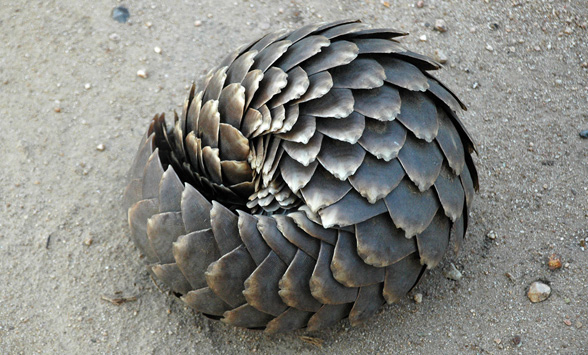 Pangolin curled up defensively in the sand.