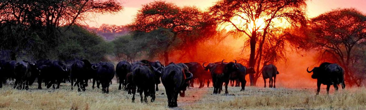 buffalo herd walking through the bush veld at dusk.