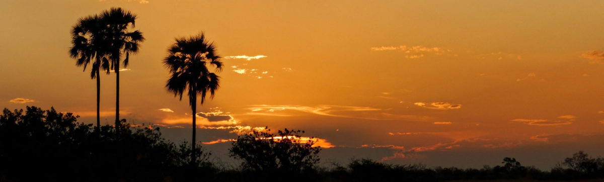 Orange skies and Ilala Palms silhouette against an orange sky in the Okavango Delta.