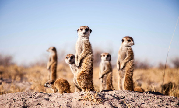 Meerkats on guard in the Kalahari Desert near Camp Kalahari