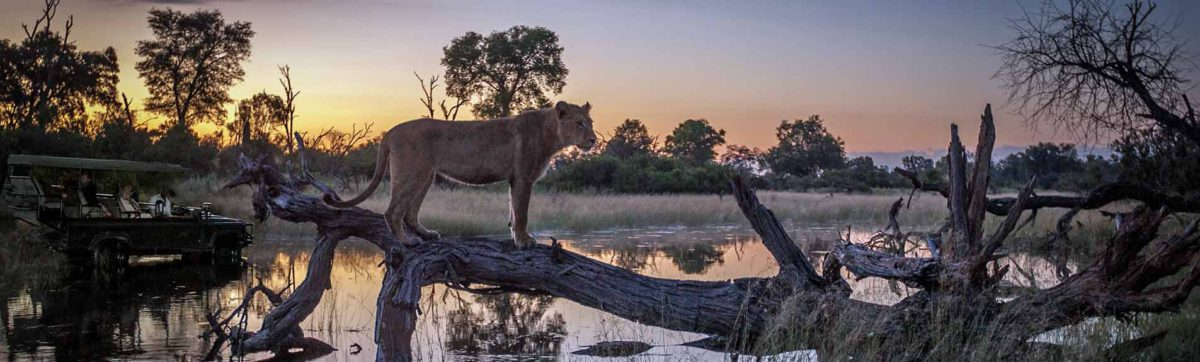 Lionesse silhouetted against spectacular Botswana sunset.