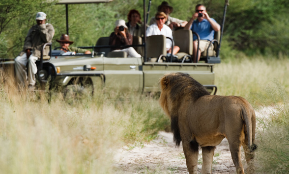 guest on a game drive watching a lone black maned kalahari lion.