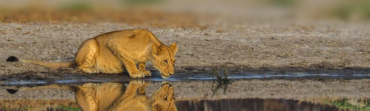 lone lioness drinking water from a channel with her reflection in the evening sunshine