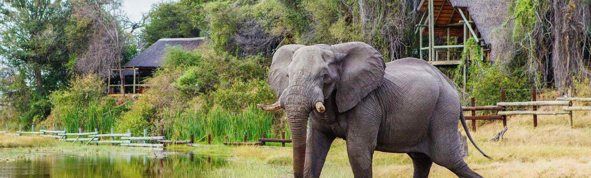 Elephant enjoying the waterhole outside the lodge buildings in Savute.