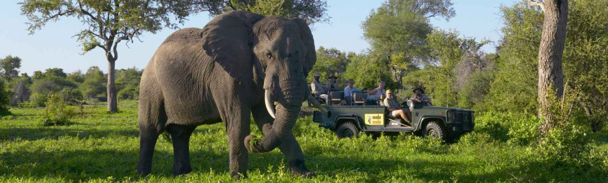 Bull elephant being watched by tourists on a game drive at MalaMala