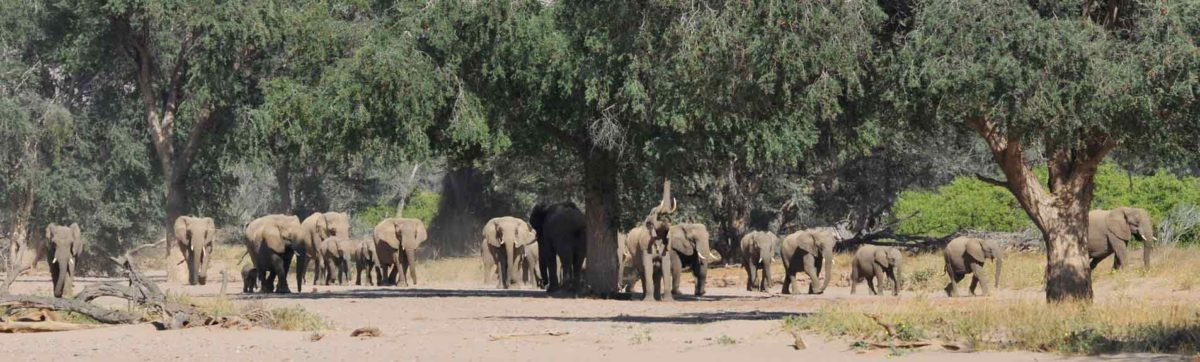 herd of elephant walking along a dry river bed in Namibia.