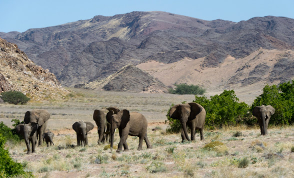 Desert adapted elephants cross ing the valley in Namibia.