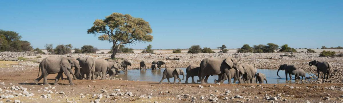 A herd of elephant drinking at the Anderssons Camp water hole