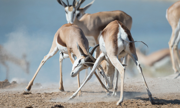 springbok rams duelling with their horns in the dusty etosha landscape
