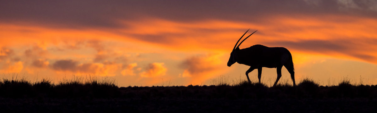 lone oryx silhouetted against an orange sky and sunset.