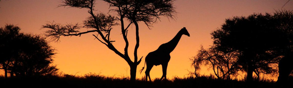 Giraffe silhouetted against the african sun set in Namibia.