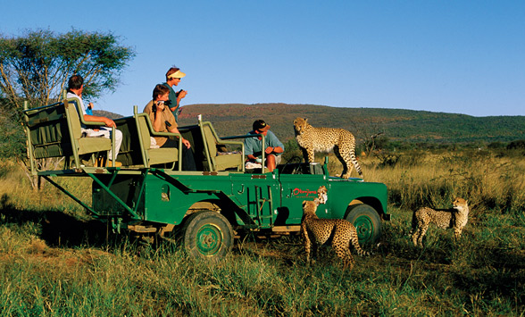 Cheetah climbing on the bonnet of the landcover as guests look on.
