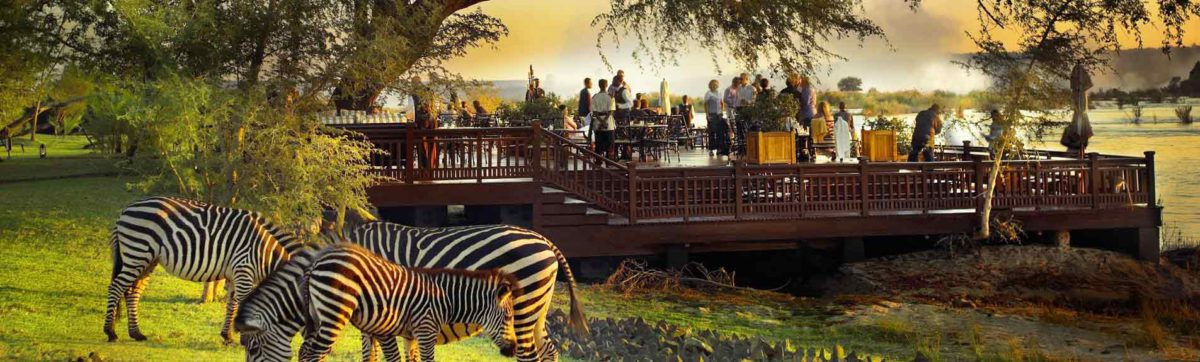 burchells zebras feed on the grass as tourists enjoy sun downer drinks on the deck overlooking the zambezi river.