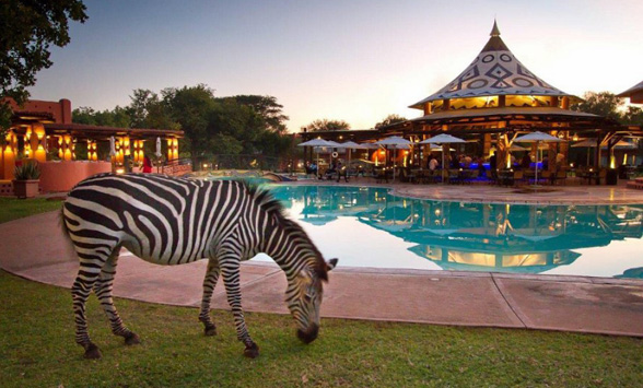 Zebra eating the grass next to the swimming pool at Avani Victoria Falls Hotel.