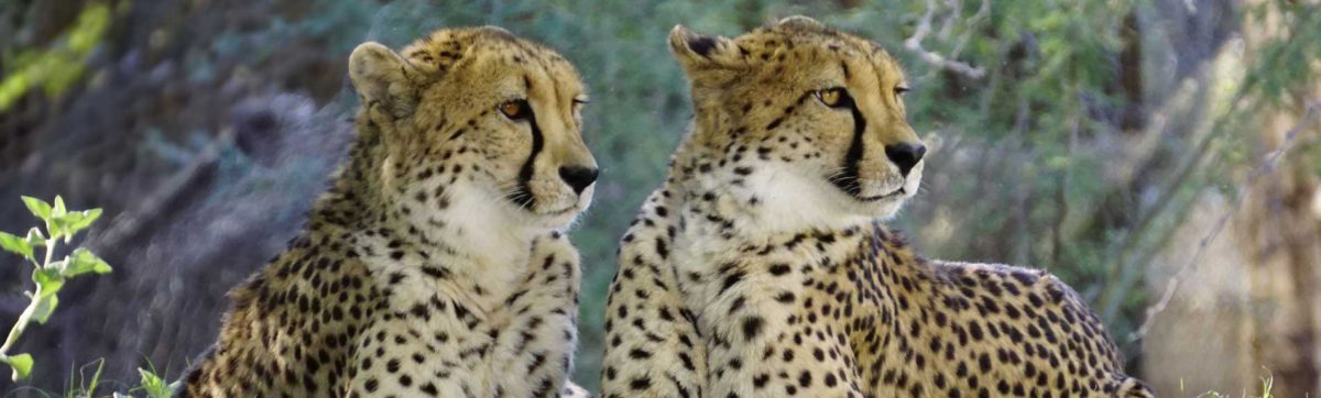 two male cheetah on the prowl.