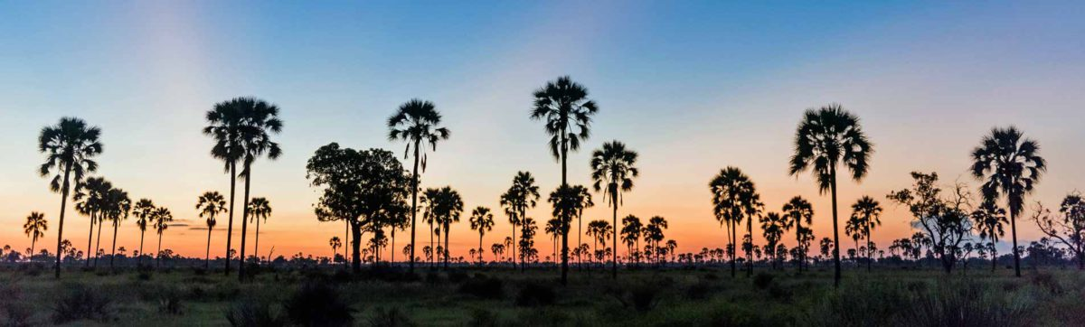 Sun set over the Okavango Delta with the Ilala Palms silhouetted against the orange sky.