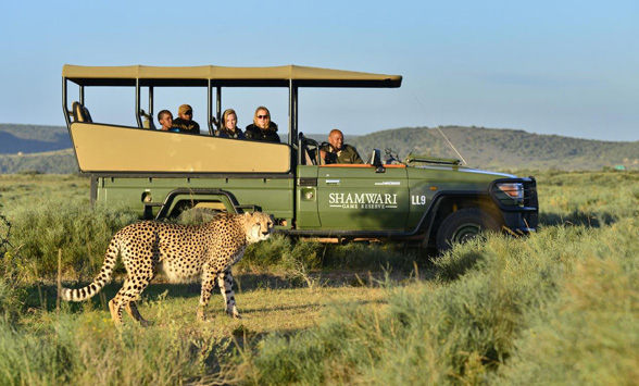 Guests in a game drive vehicle watching a passing cheetah.