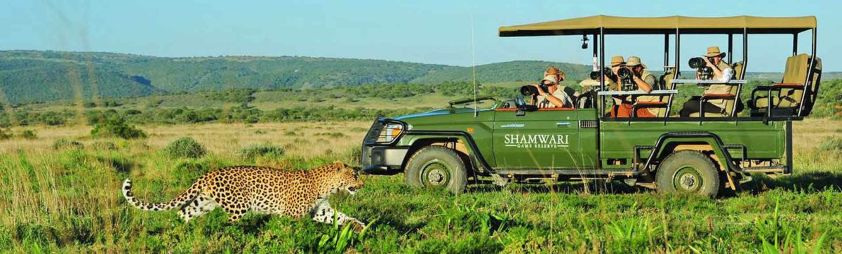 Guests in a game drive vehicle taking photos of a leopard.