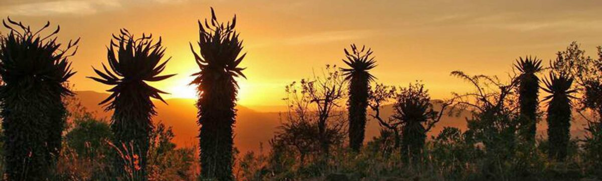 Mountain aloes silhouetted against an orange sky
