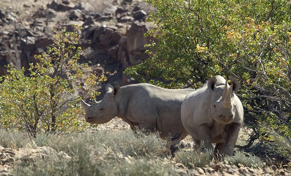 Two black rhino in the scrub in Damaraland, Namibia.