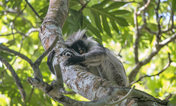 Red Colobus Monkey in tree.