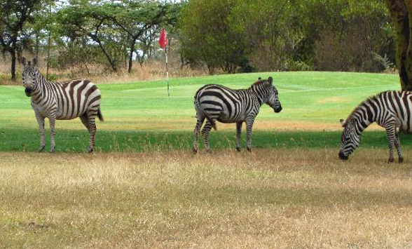 Burchells zebra eating grass on the fairway of the Great Rift Valley golf course.