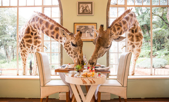 giraffes with their heads through the window at Giraffe Manor.