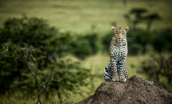 leopard sitting on a rock looking into the camera
