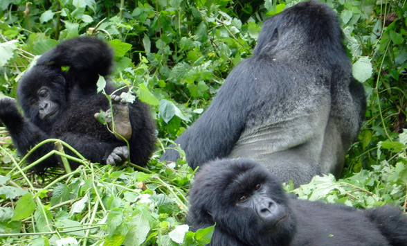 Gorilla family lying in the grass.